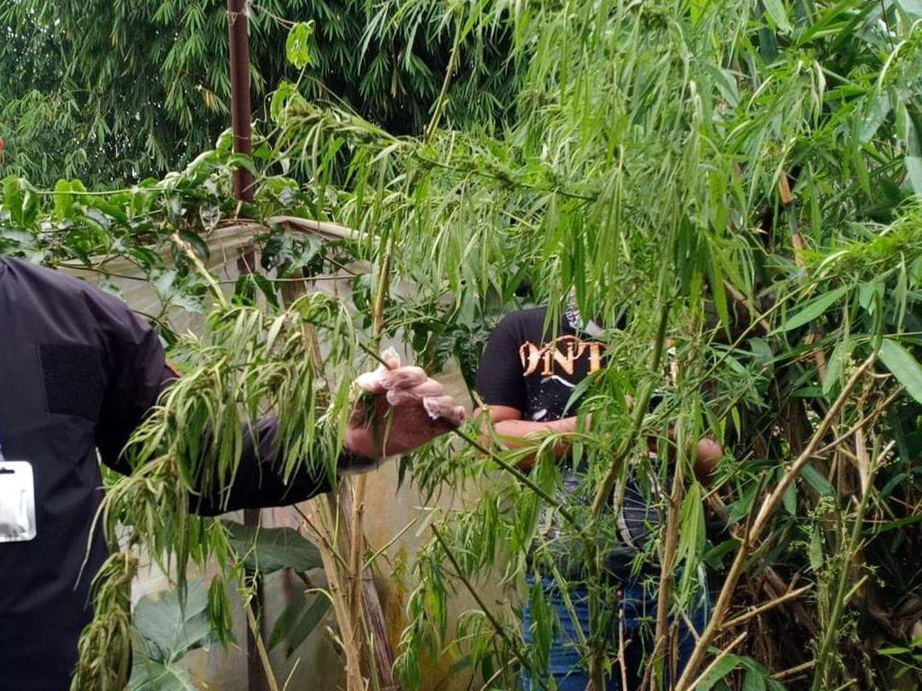 Tanam Ganja, 2 Pria Tua di Bandung Barat Dibekuk Polisi