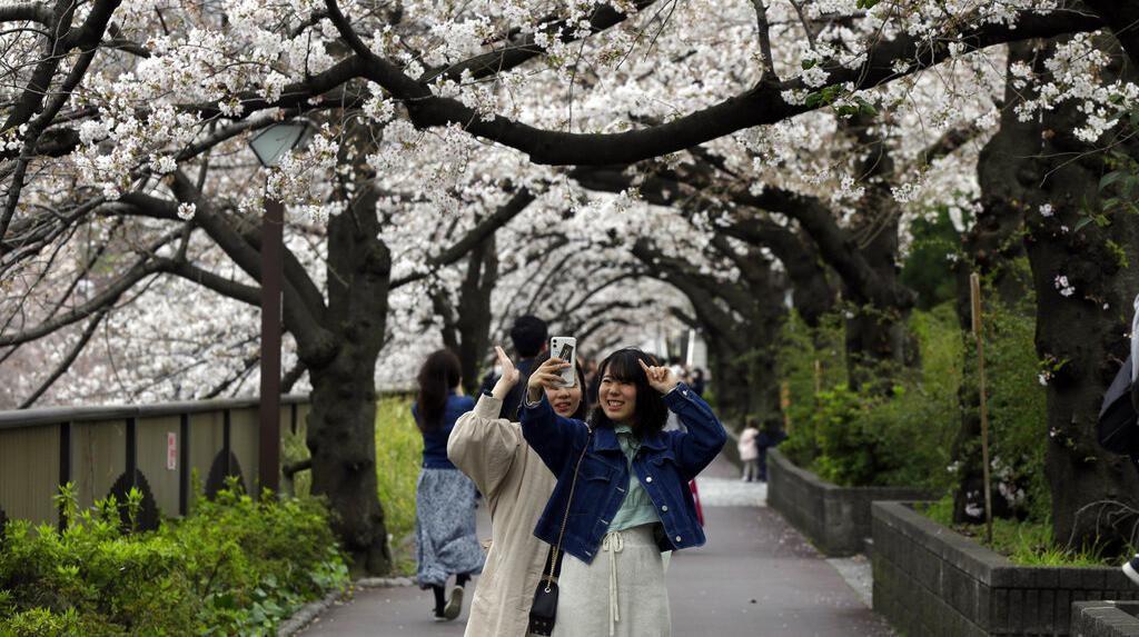 Cantiknya Bunga Sakura Bermekaran di Tengah Wabah Corona
