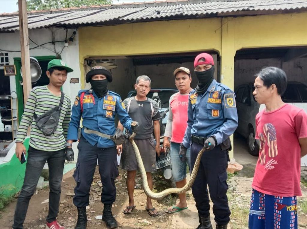 Damkar Evakuasi Sanca yang Ngumpet di Kolong Kasur Warga Bojonggede
