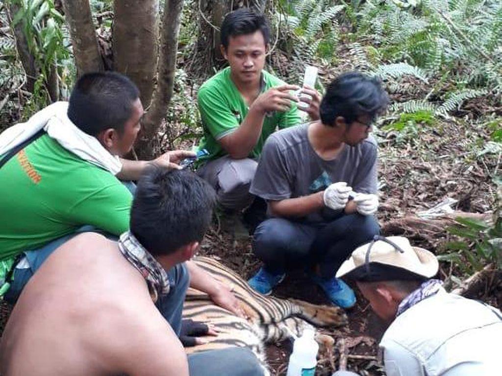 Harimau Liar Sumatera Terjerat di Area Konsesi HTI di Riau