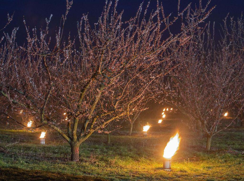 Ratusan Lilin Jaga Pohon Apricot dari Serangan Salju