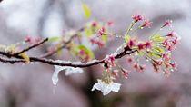 Potret Bunga Sakura yang Bersalju di Tokyo