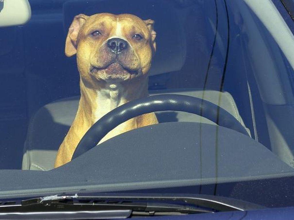 Astaga, Pria Ditangkap Karena Ajari Anjingnya Nyetir Mobil di Jalan Tol