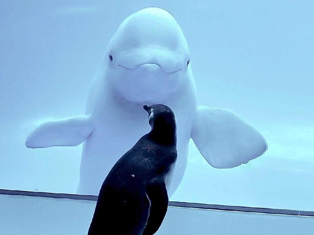 Potret Pertemuan Paus Beluga dan Penguin yang Bikin Gemas