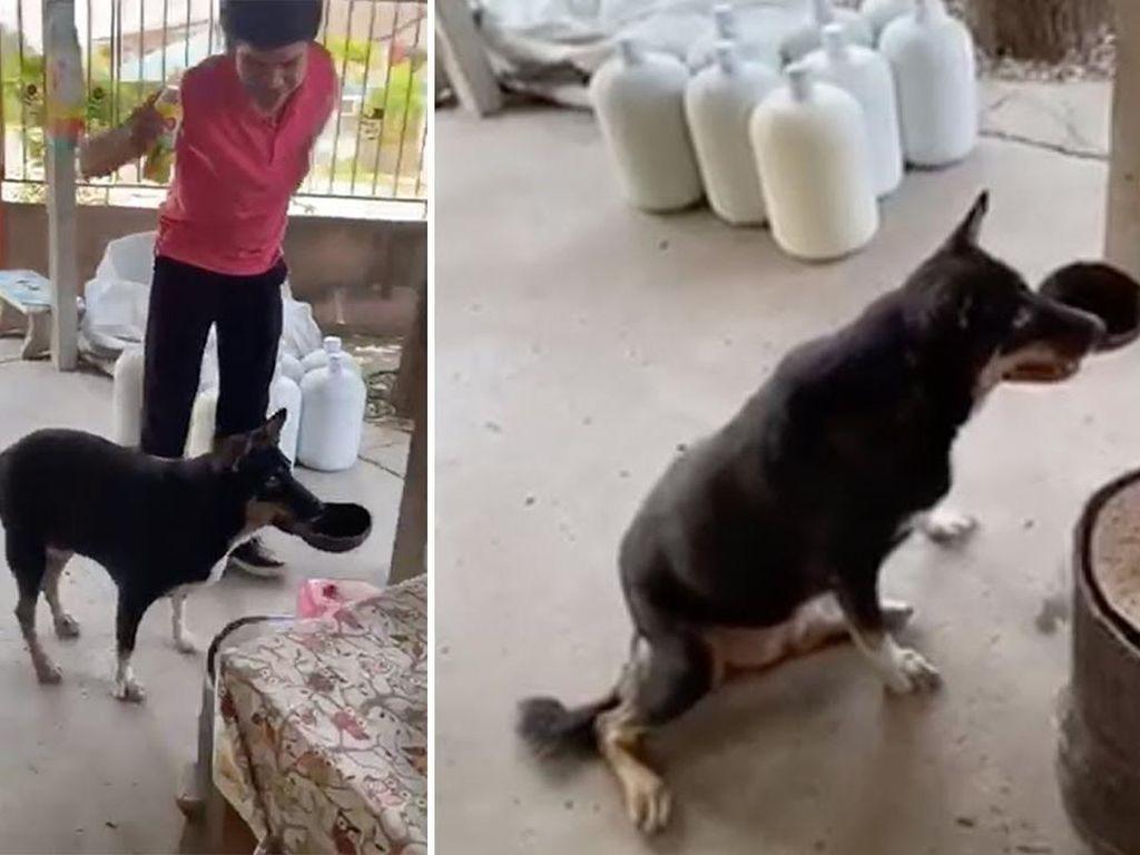 Pintar! Anjing Ini Bawa Batok Kelapa Buat Minta Makanan ke Restoran