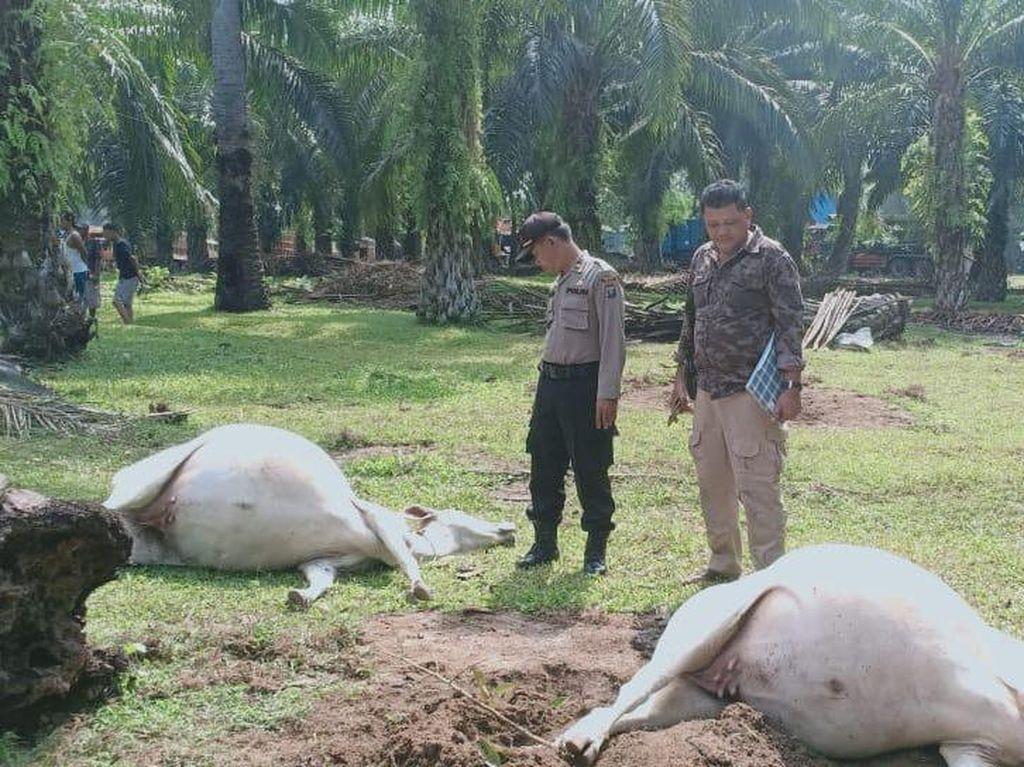 16 Ekor Lembu Mati Mendadak di Asahan Sumut, Hidungnya Berbusa