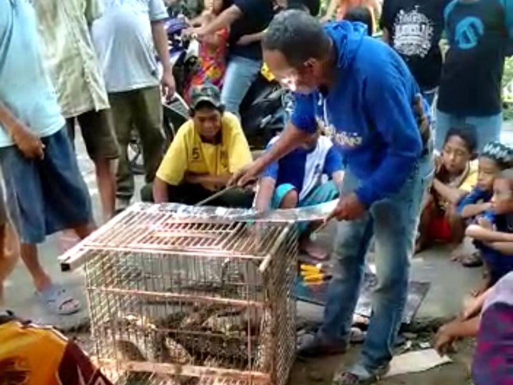 Mangsa Ternak, Ular Piton 4 Meter Ditangkap Warga Gowa