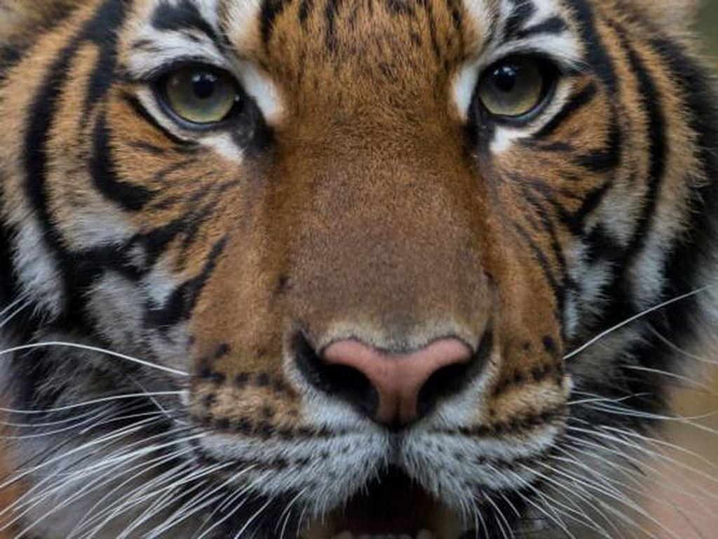 Seekor Harimau di Kebun Binatang New York Positif COVID-19