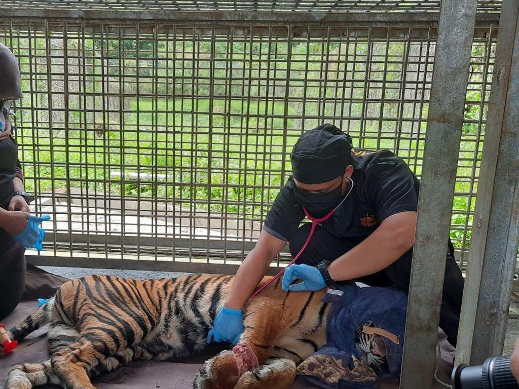 Korban Jerat di Riau, Kaki Harimau Corina Terancam Diamputasi