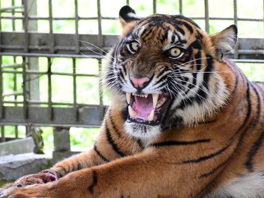 Gempar Teror Harimau Masuk Kampung di Sumbar