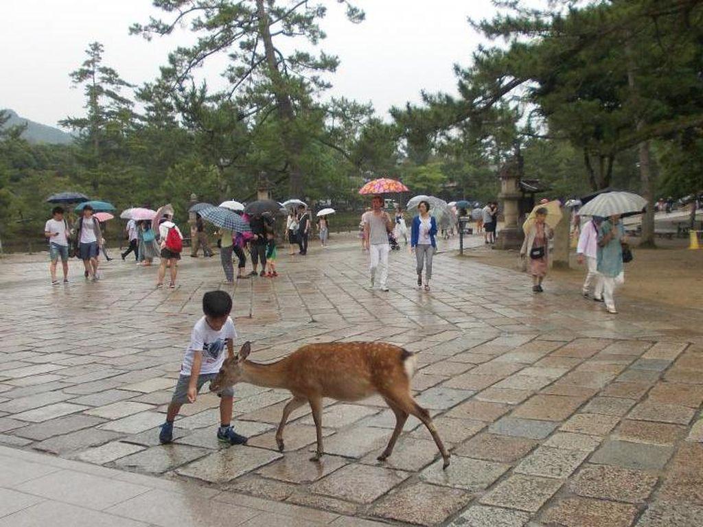 Rusa di Taman Nara Jepang, Bagaimanana Nasibmu Saat Pandemi Corona?