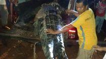 Mangsa Bocah, Buaya di Buru Maluku Ditembak Mati