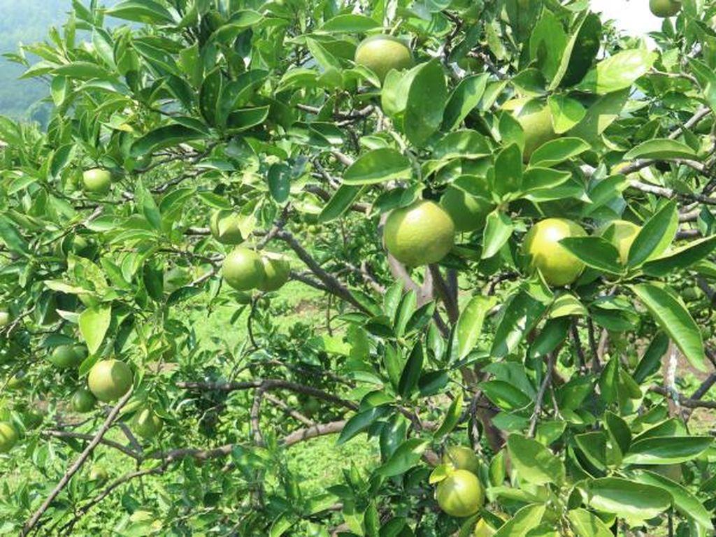 Nostalgia Keseruan Panen Apel Malang Langsung dari Kebunnya