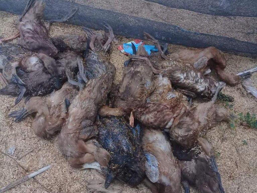 Ratusan Unggas Mati di Sidrap Sulsel, Diduga Terserang Flu Burung