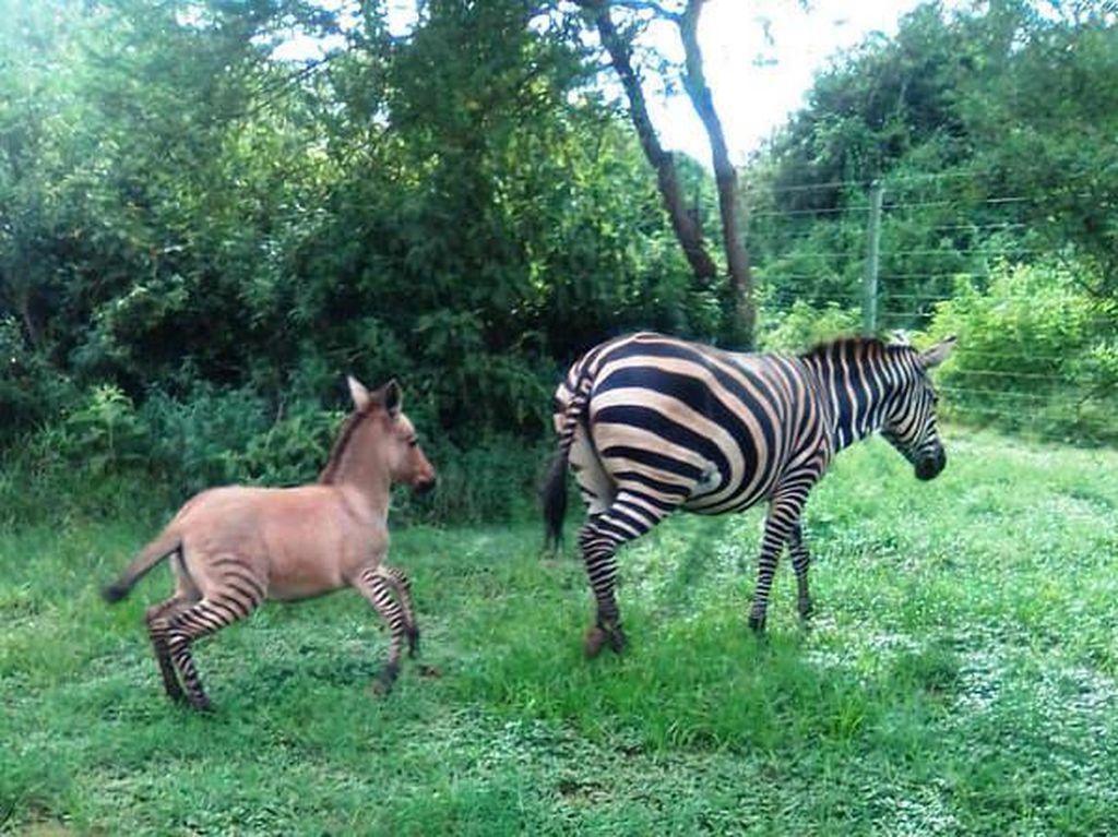 Kenalkan Ini Zonkey, Blasteran Zebra dan Donkey