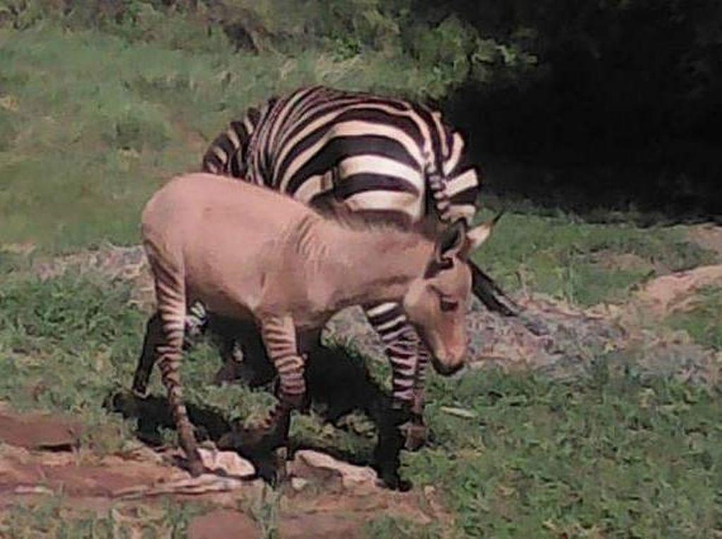 Foto: Bukan Zebra, Ini Zonkey