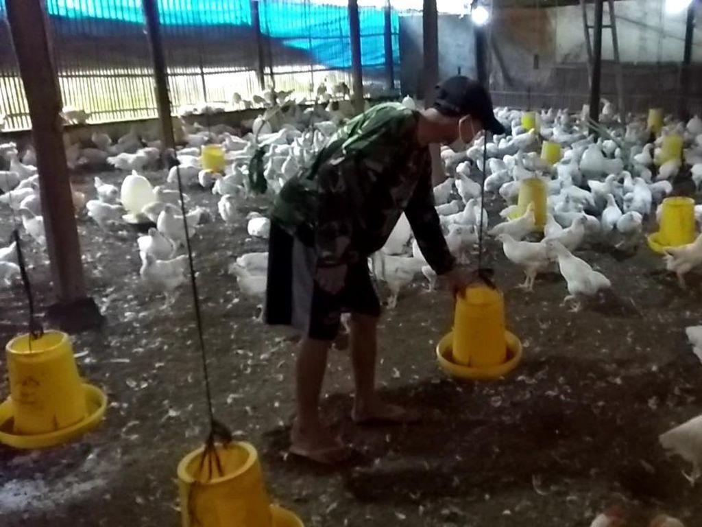 Harga Ayam Terus Tertekan, Peternak Minta Ini ke Pemerintah