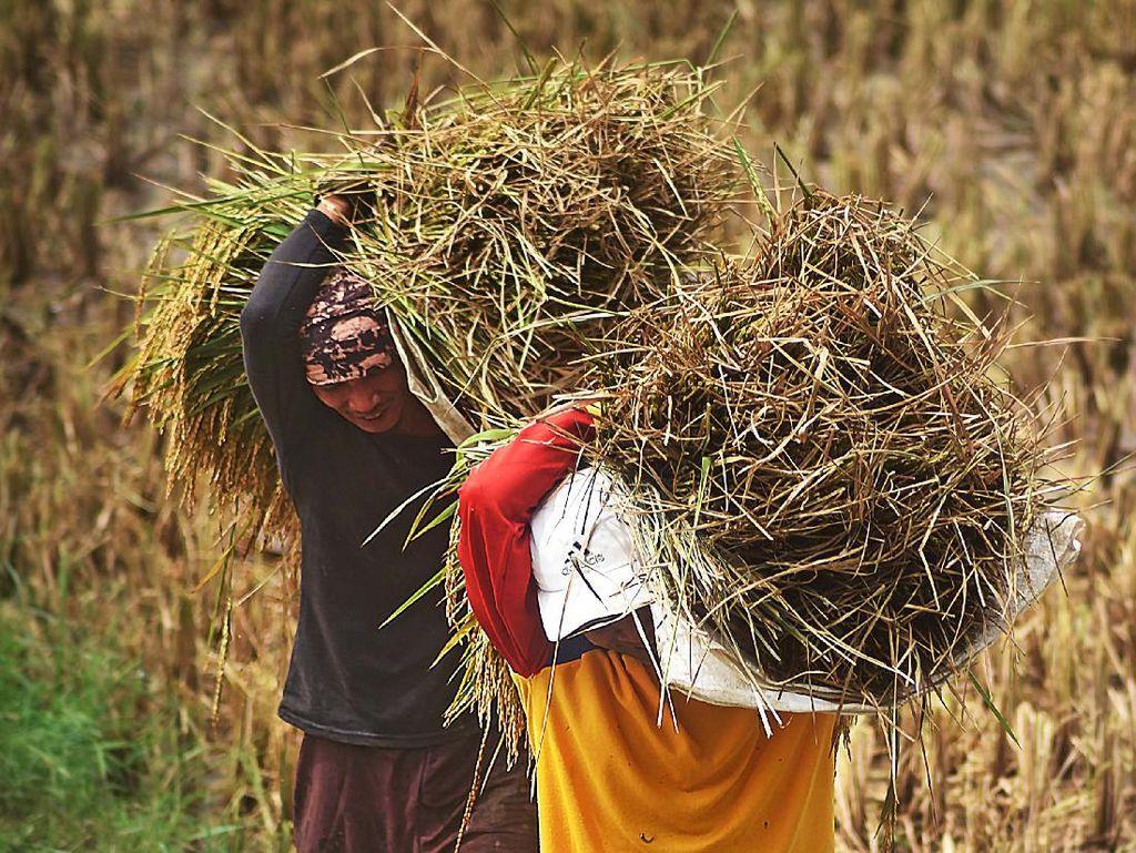 Duh! Harga Gabah Petani Anjlok di 85 Kabupaten