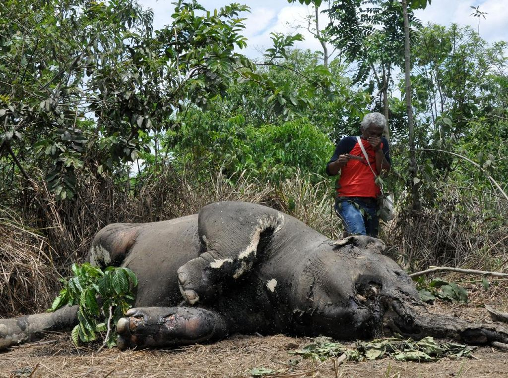 Seekor Gajar Sumatera Liar Mati Di Aceh Timur