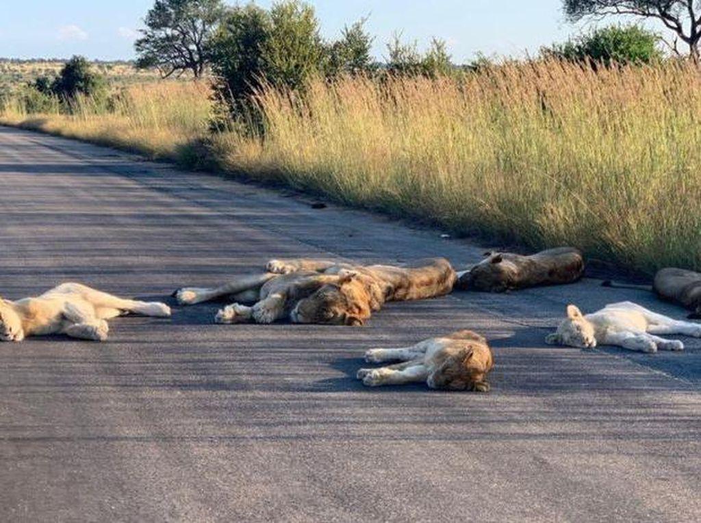 Afrika Selatan Lockdown, Singa-singa Tidur Pulas di Jalanan