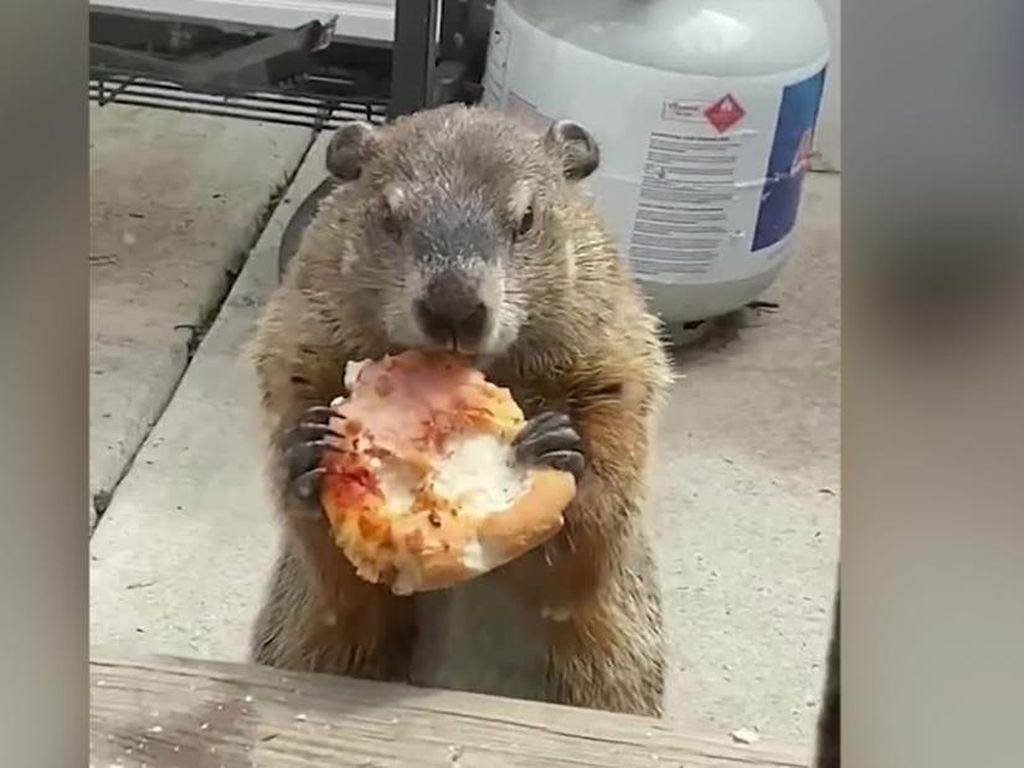 Gemas! Marmot Gendut Ini Asyik Kunyah Pizza di Depan Rumah Warga