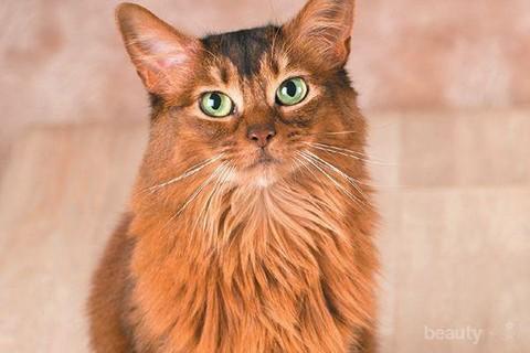 Dijuluki Sebagai Kucing Barbar Simak Berbagai Fakta Menarik Tentang Kocheng Oren