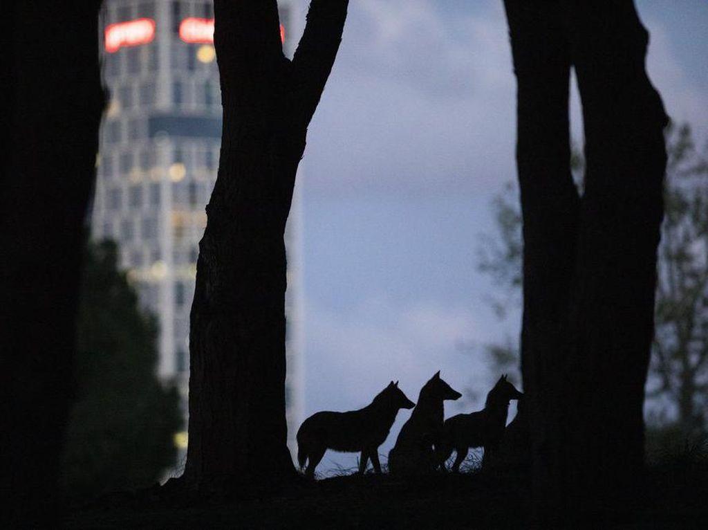 Kawanan Jakal Saba Kota di Tel Aviv