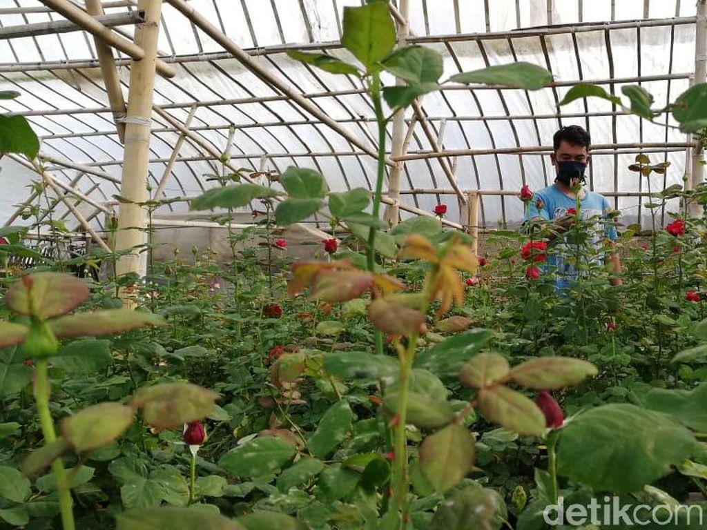 Corona Mewabah, Petani Bunga di Bandung Barat Merugi