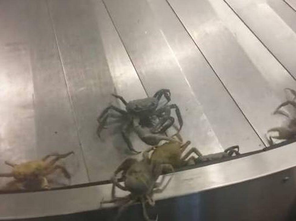 Bandara Sepi, Eh Malah Ramai Kepiting
