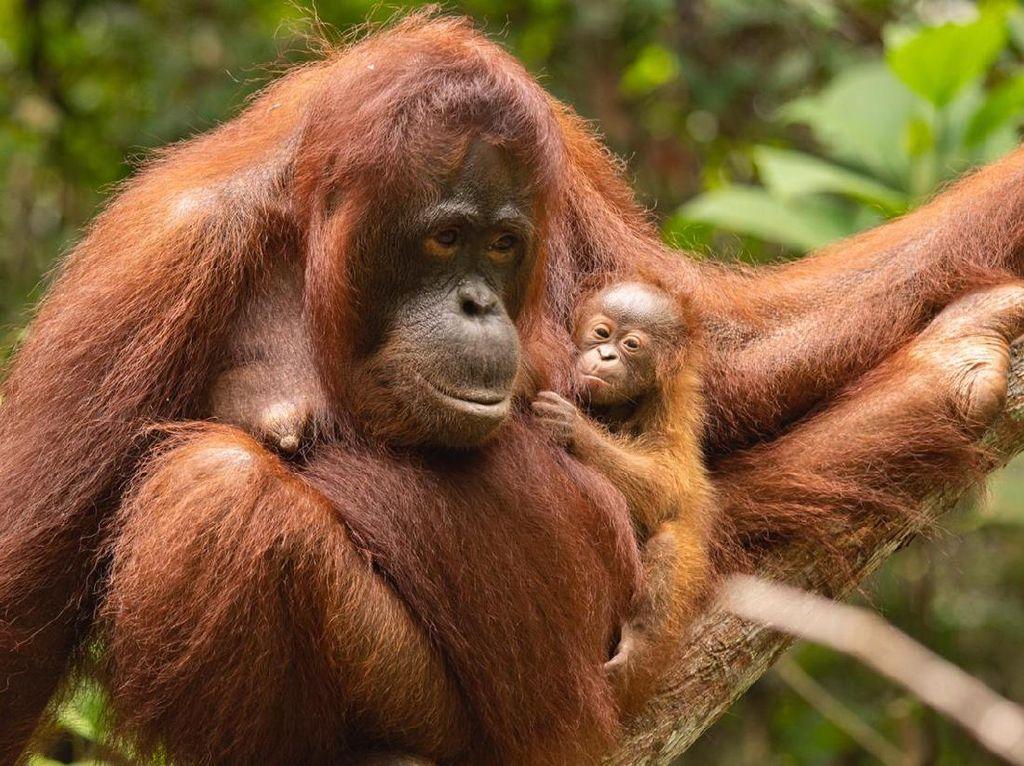 Orangutan Ini Jadi Yang Pertama Menerima Vaksin COVID-19