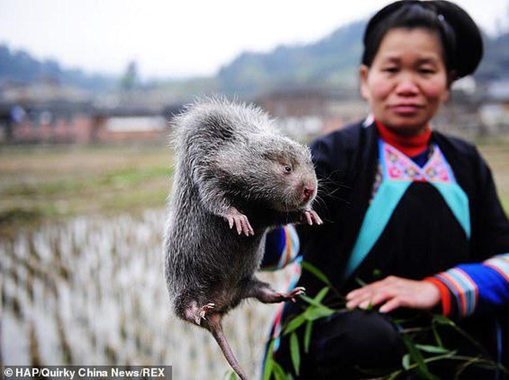 Sebelum Virus Corona, Tikus Bambu Jadi Makanan Paling Hits di China