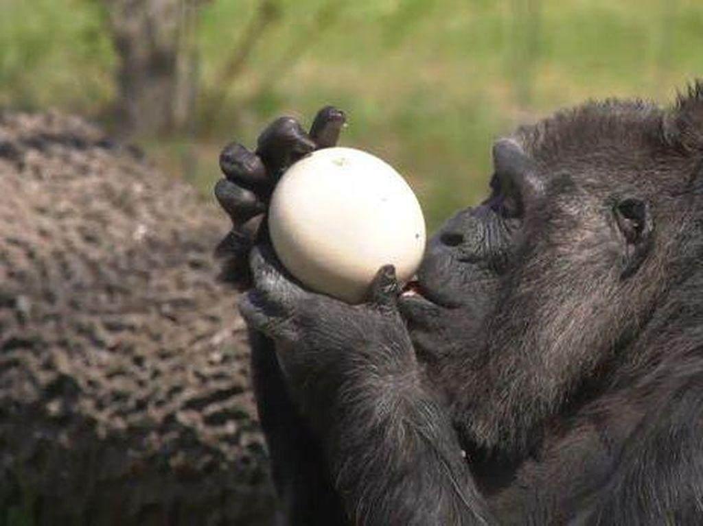 Selamat Ulang Tahun, Gorila Tertua di Dunia Fatou!