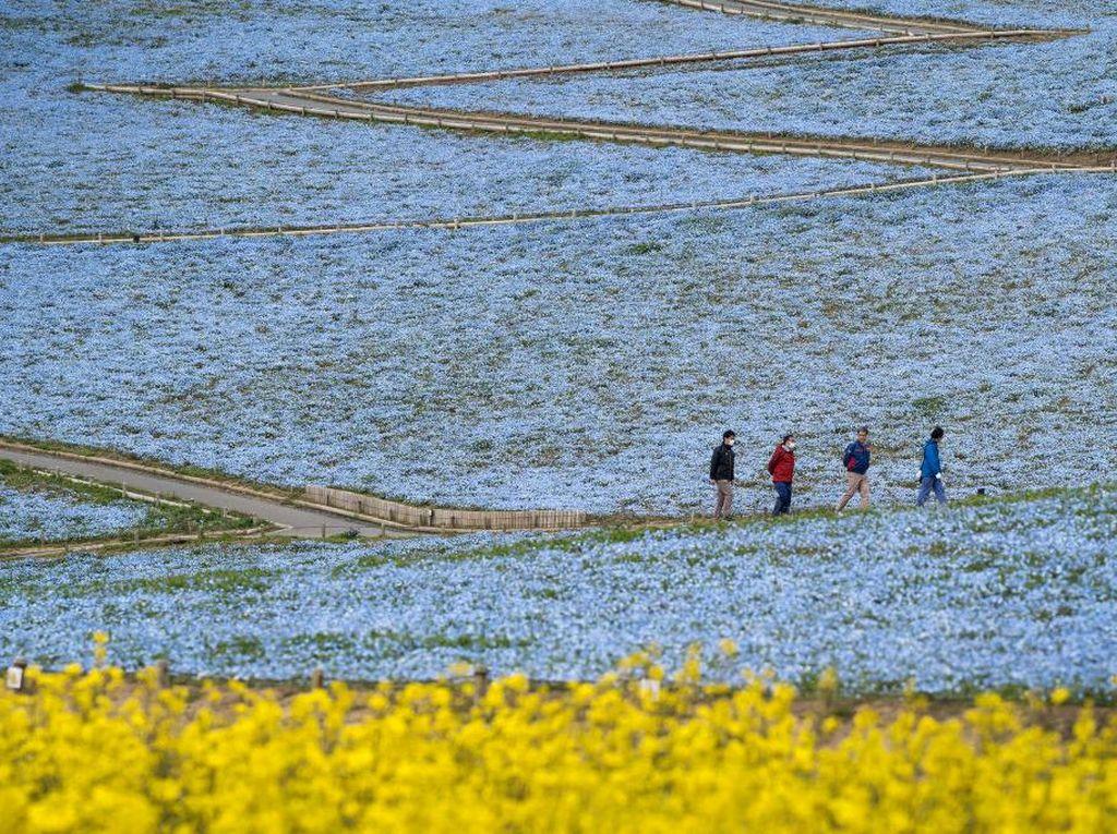 Pesona Bunga Nemophila yang Bermekaran di Jepang