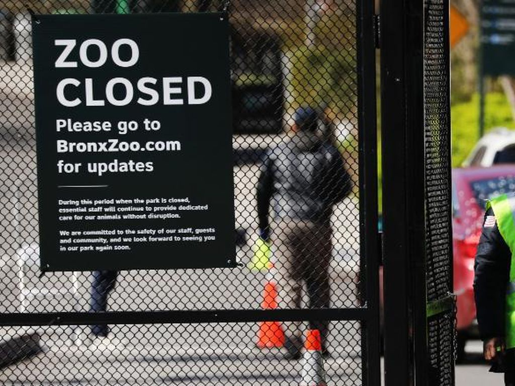 8 Singa-Harimau di Kota New York Terinfeksi Corona