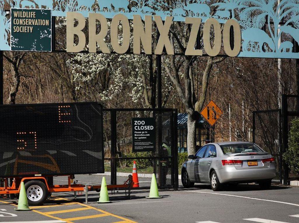 Lagi, 7 Harimau dan Singa di Kebun Binatang New York Positif Corona