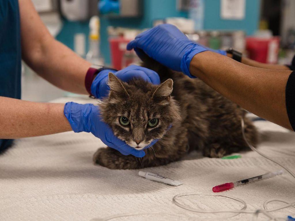 Bertambah Lagi, Dua Kucing di New York Positif Terjangkit Corona