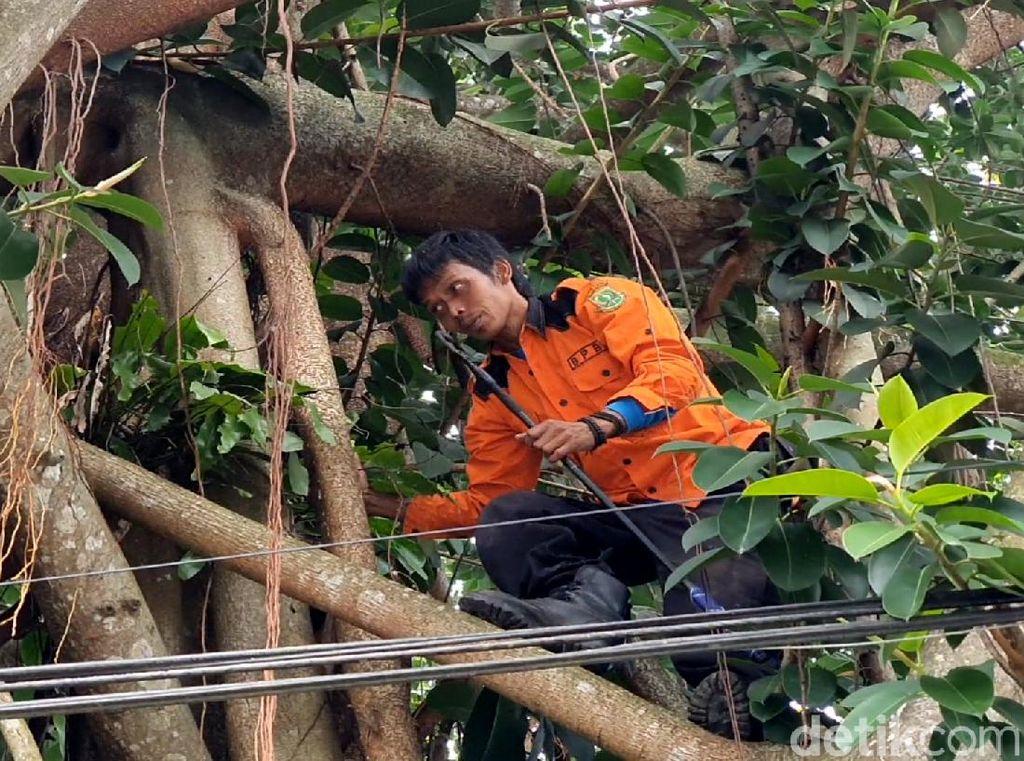 Cerita Petugas Damkar Sukabumi Cari Piton yang Ngumpet di Pohon