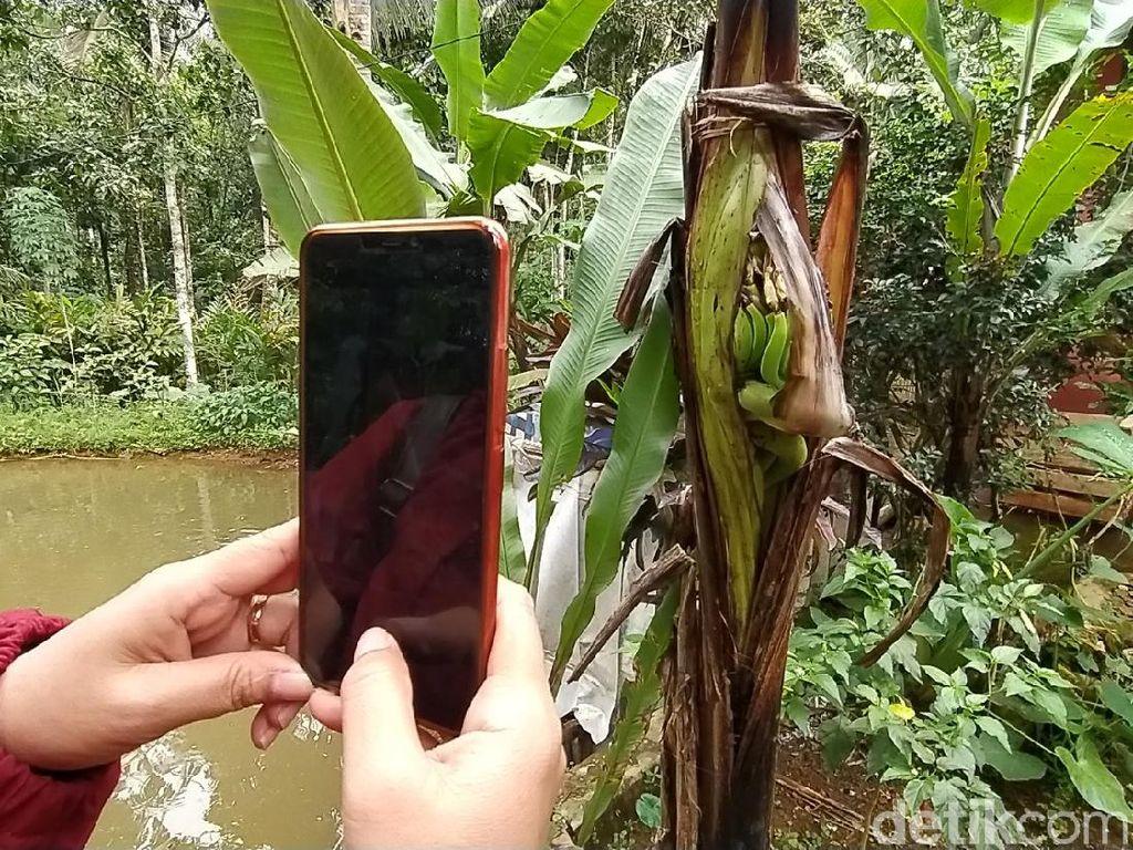 Unik! Pohon Pisang di Ciamis Berbuah di Tengah Batang