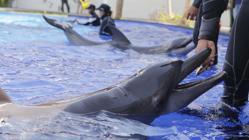 Yuk, Lihat Latihan Lumba-lumba di Pusat Konservasi Bali