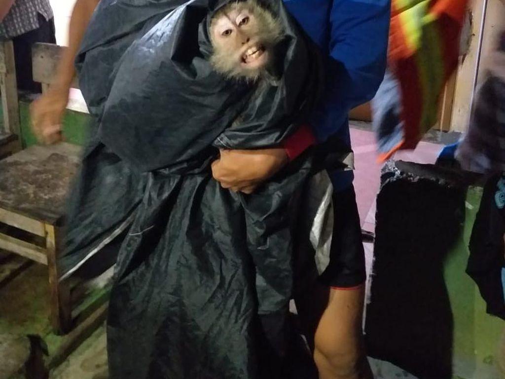 Damkar Tangkap Monyet Liar di Cipayung, Evakuasi Makan Waktu 1 Jam