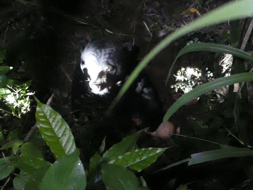 Lepas-Lari ke Kebun Warga, Beruang Madu di Yogya Berhasil Dievakuasi