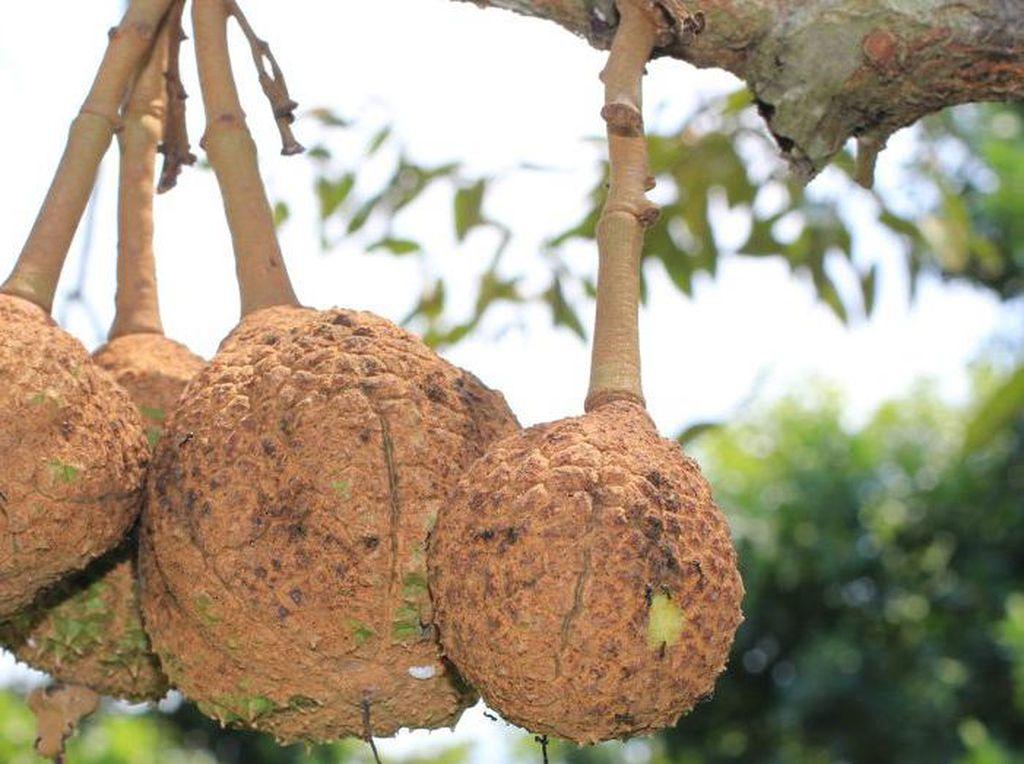 Alasan Minum Kopi Bikin Mulas hingga Panen Durian Gundul Setelah 12 Tahun