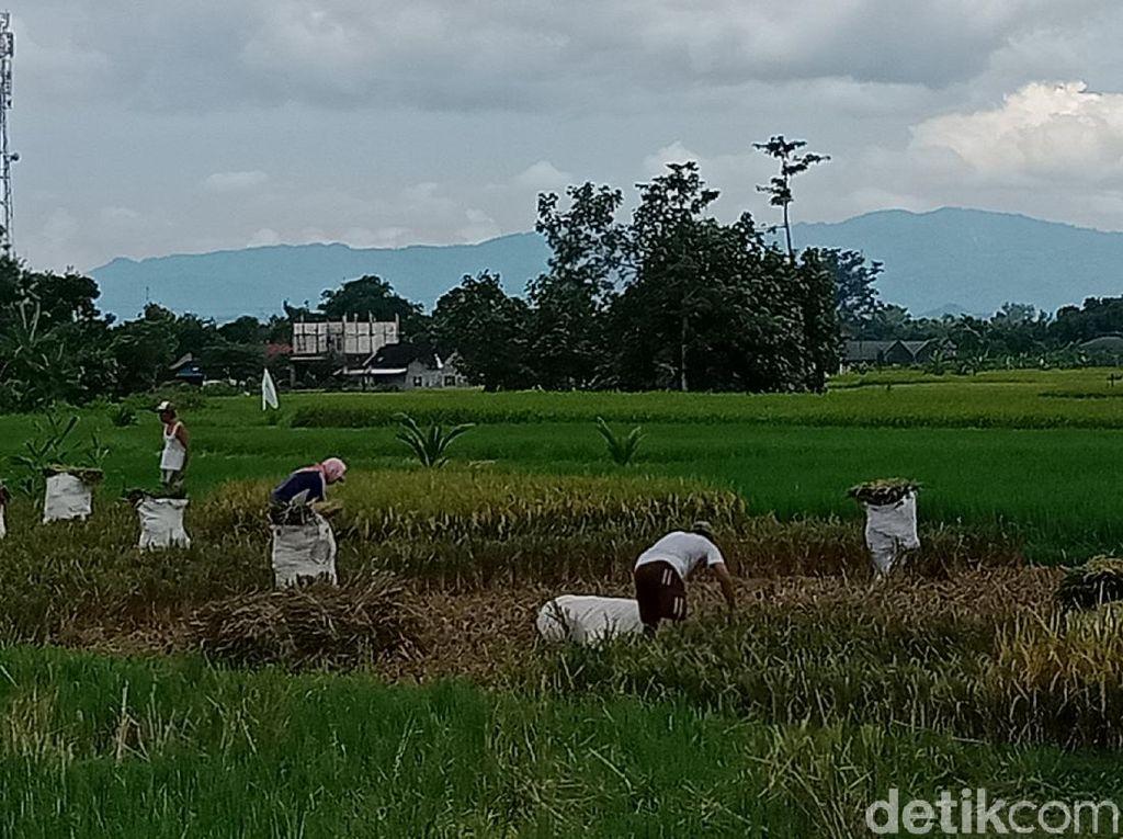 Lokasi Cetak Sawah Baru di Kalimantan yang Diincar Jokowi