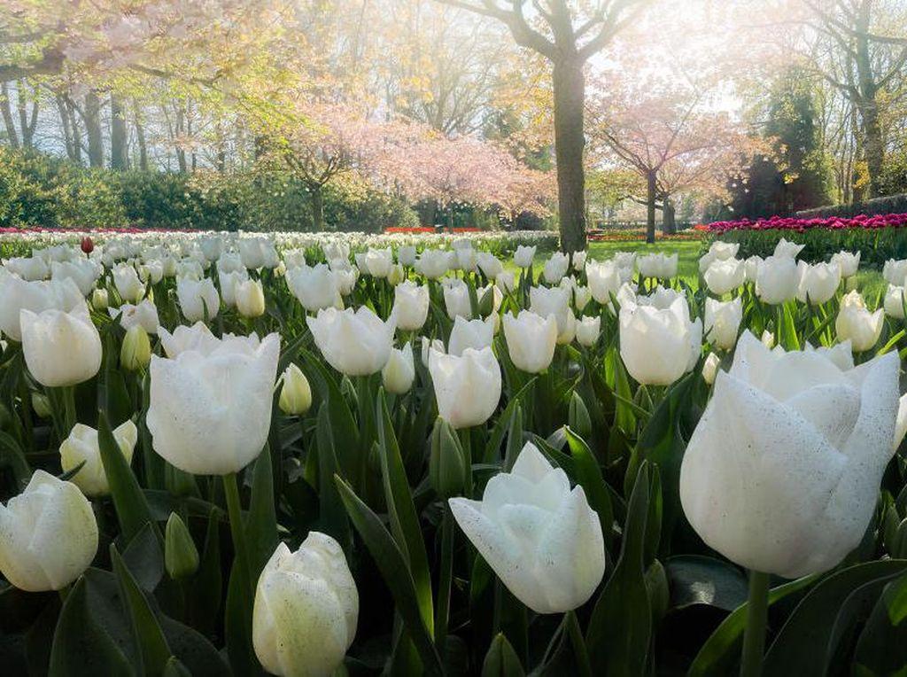 Valentines Day, Ini 5 Bunga Valentine Bermakna Cinta yang Cocok untuk Kado