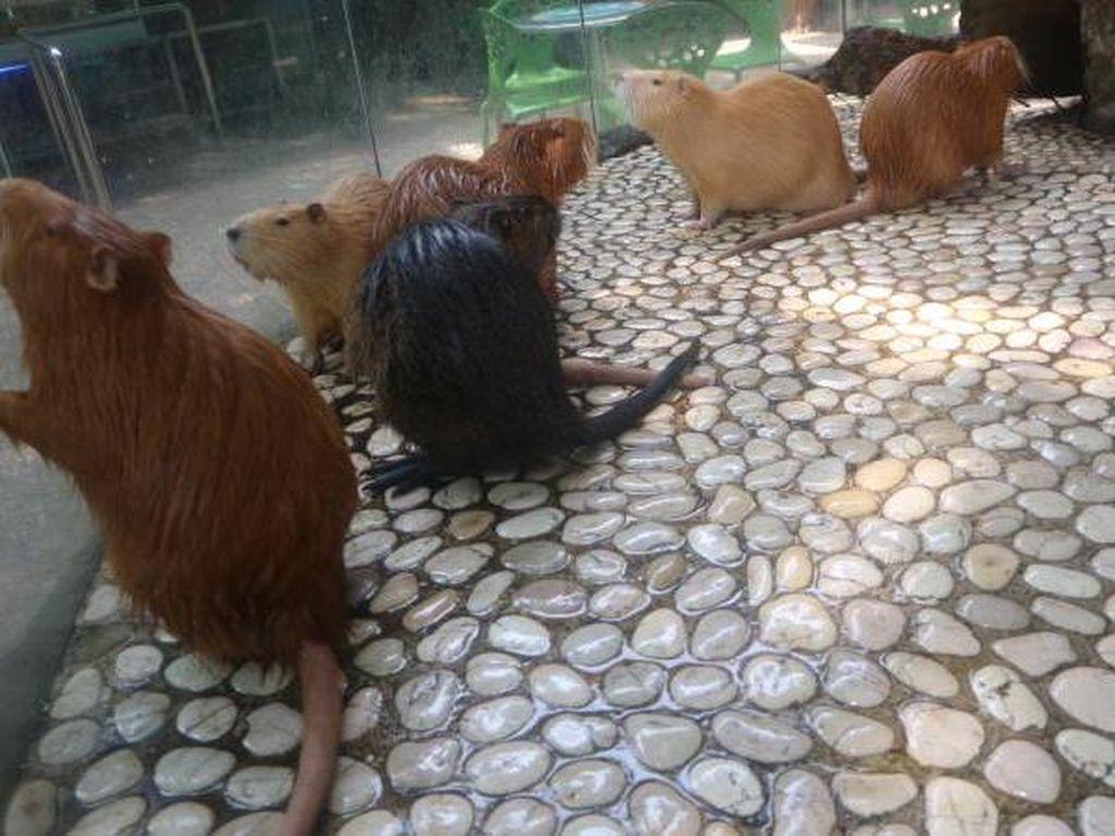 Kenalkan Ini Nutria, Hewan Pengerat Imut di Batu Secret Zoo