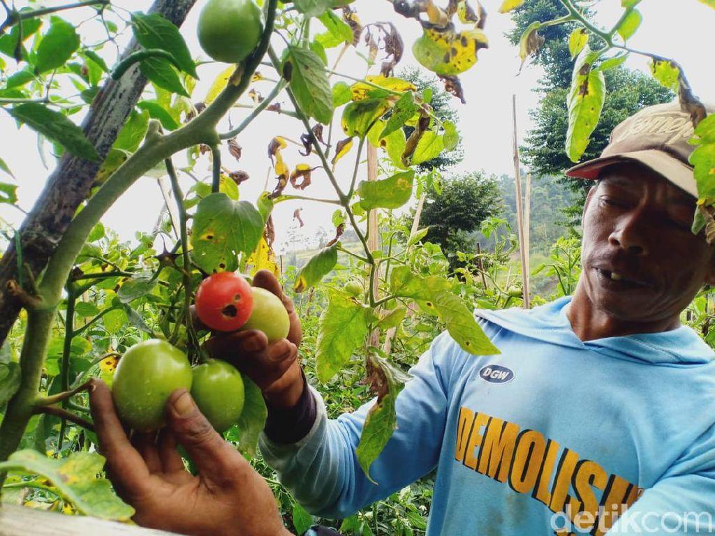 Cerita Pilu Petani Sayuran di Bandung Barat Kena Imbas Wabah Corona