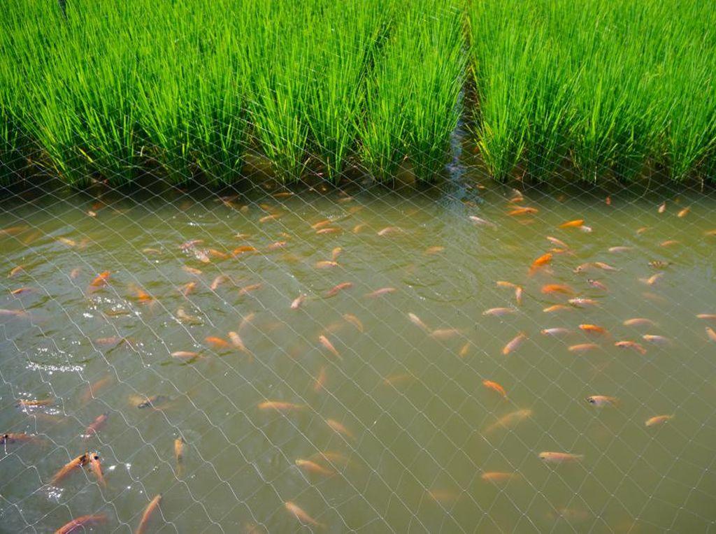 Biar Tetap Moncer, Pembudi Daya Ikan Mina Padi Dapat Bantuan Ini