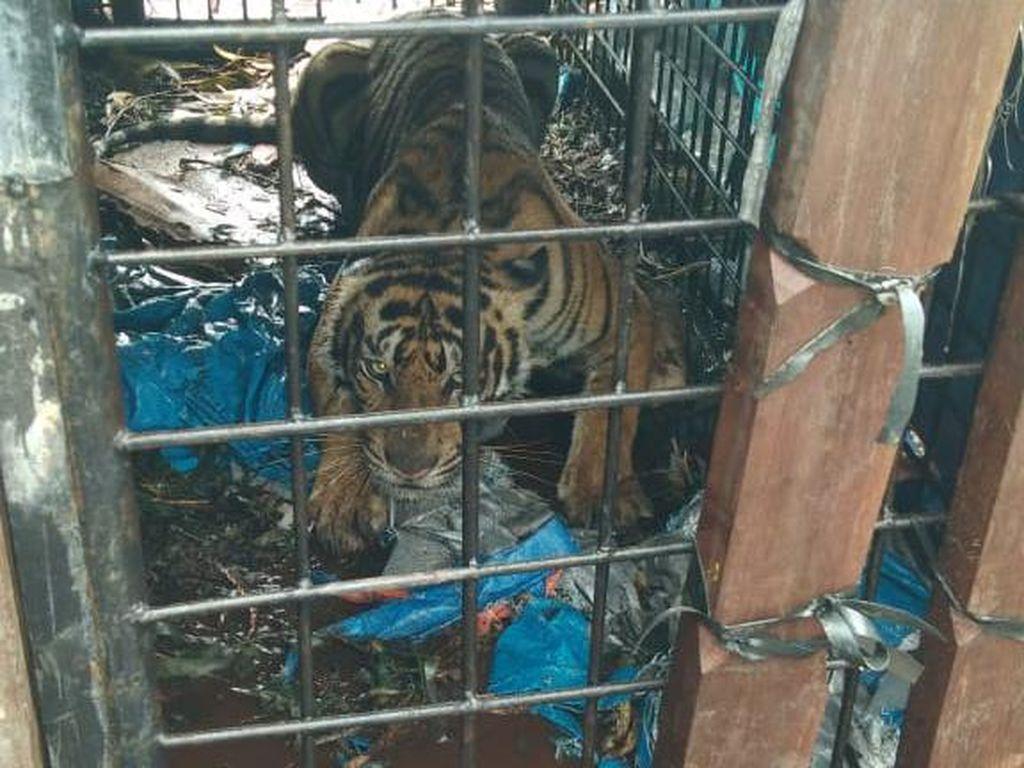 Diumpan Kambing, Harimau Sumatera Muncul di Permukiman Warga Riau Ditangkap