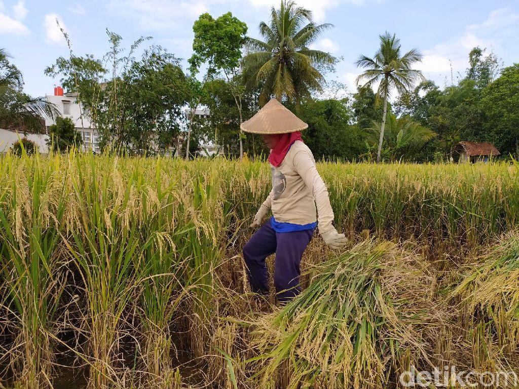 Upah Buruh Tani Stagnan di Rp 52.214/Hari