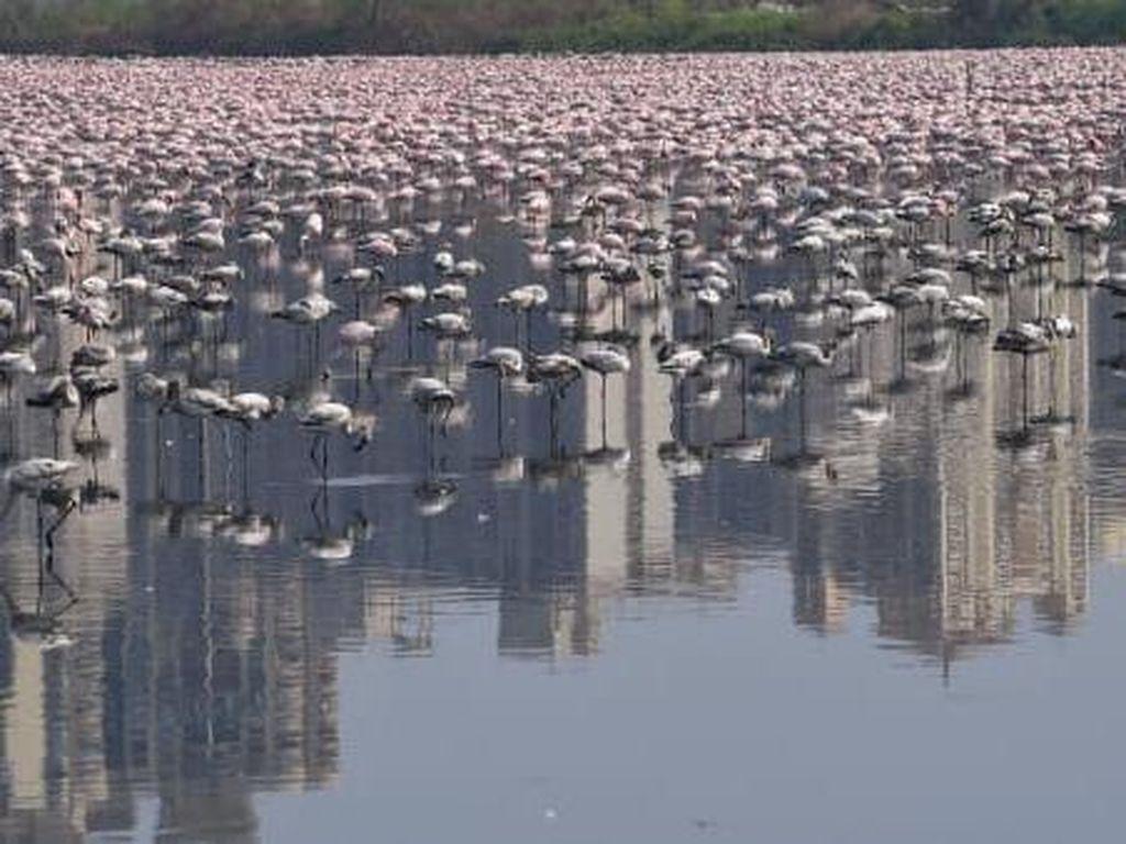 Flamingo Berduyun-duyun Terbang ke Mumbai Saat Lockdown